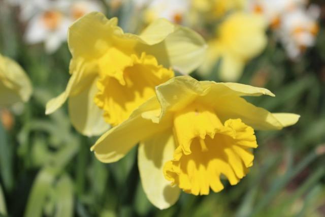 daffodils2-1